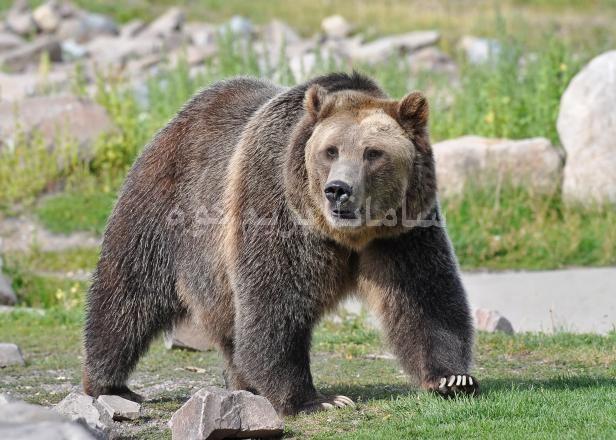 رویارویی با خرس