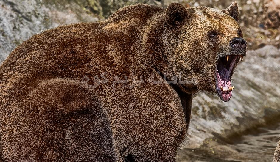 حمله ی خرس به انسان بسیار نادر می باشد!