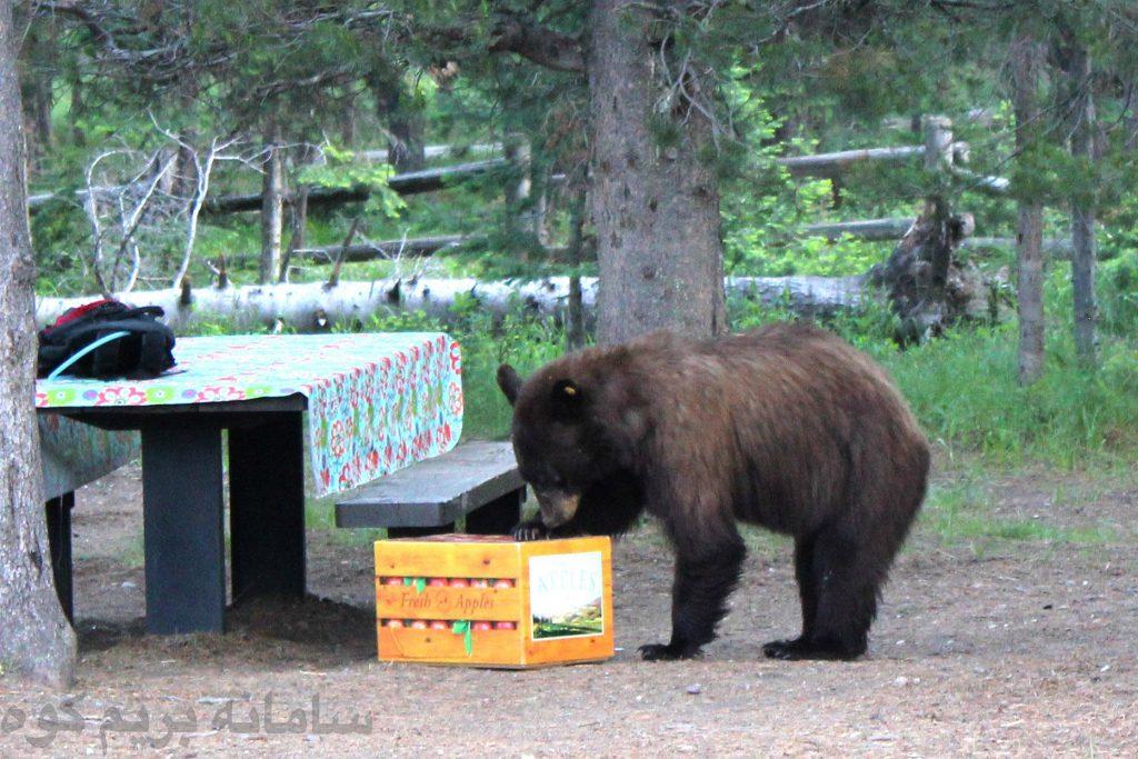 هرزمانی که به منطقه ای که محل خرس ها می باشد می روید، در واقع شما نحوه ی رفتار خرس با انسان ها را آموزش می دهید!
