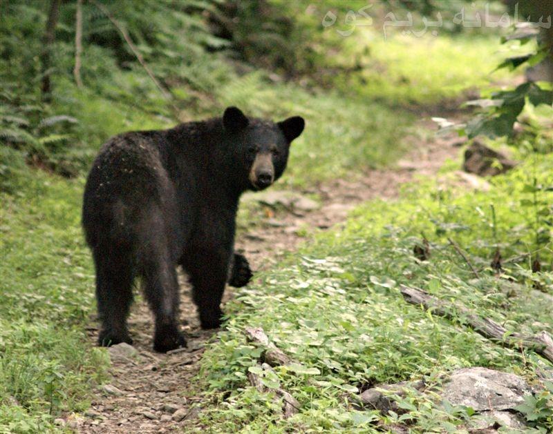 آگاهی از وجود خرس
