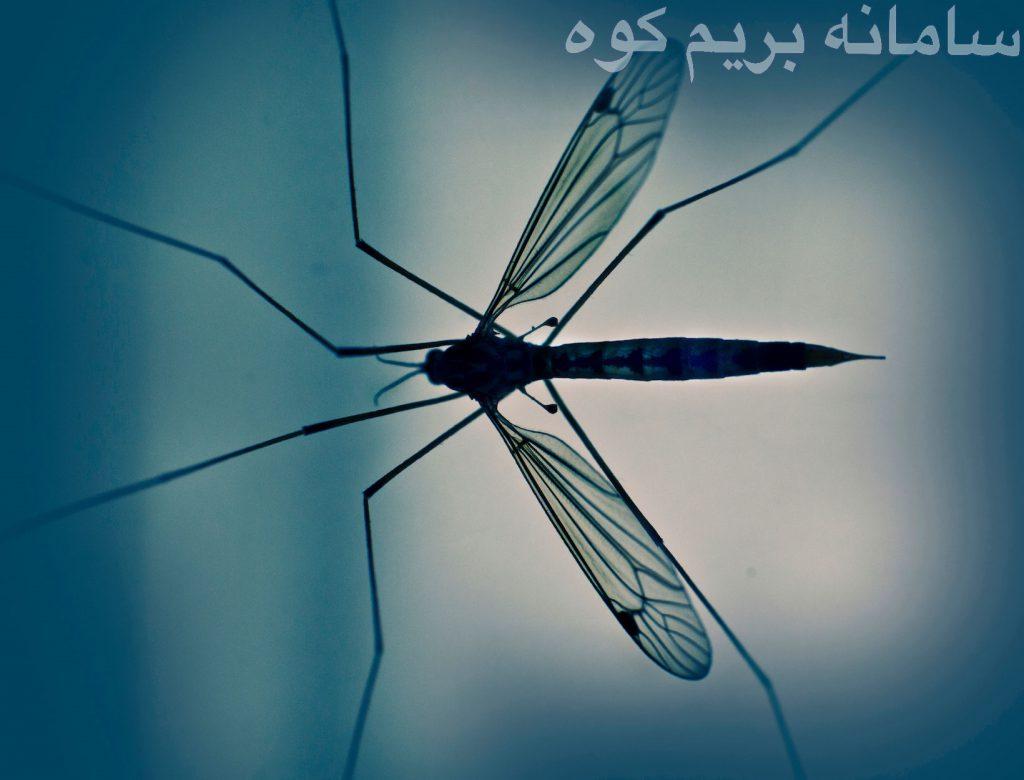 نزدیک به 3000 هزار پشه مختلف در دنیا وجود دارد که بعضی از آن ها از خون تغذیه نمی کنند !