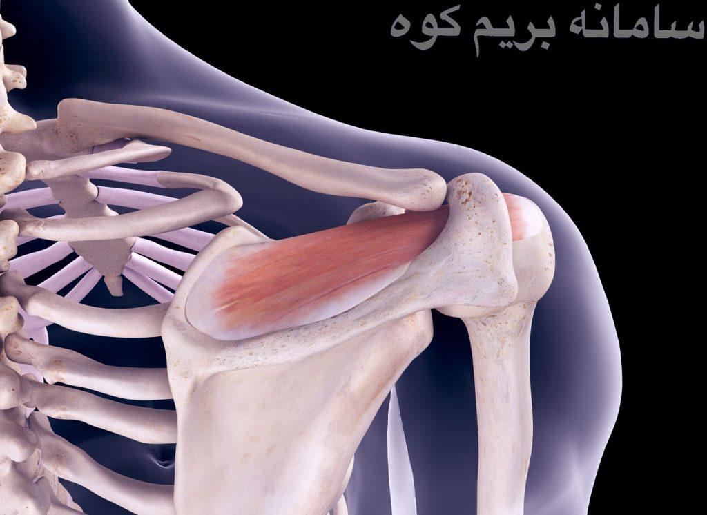آکرومیون مانند تمام عضلات که به استخوان متصل شده اند، برای حرکت شانه مهم می باشد اما ممکن است برای بعضی ها، آزاردهنده باشد !